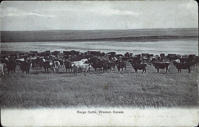 postcard 9908 montreal news company range cattle western canada c1910. Black Bedroom Furniture Sets. Home Design Ideas